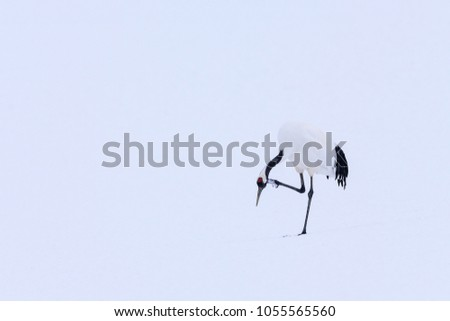 Snow dance in nature. Wildlife scene from snowy nature. Dancing pair of Red-crowned crane with open wing in flight, with snow storm, Hokkaido, Japan. Bird in fly, winter scene with snow. #1055565560