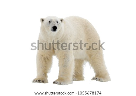 Polar Bear isolated on the white background Royalty-Free Stock Photo #1055678174