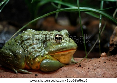 Photo of a large green textured bullfrog at the Franklin Park Zoo, Boston, Massachusetts. #1055968616