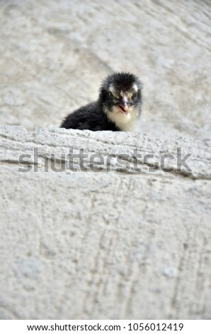 A black chick is walking on a concrete floor waiting for its mom in a modern house construction site in Bangkok, Thailand. #1056012419