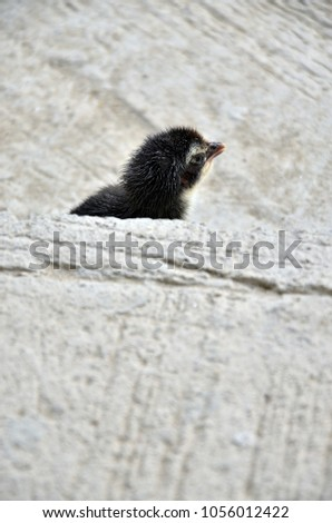 A black chick is walking on a concrete floor waiting for its mom in a modern house construction site in Bangkok, Thailand. #1056012422