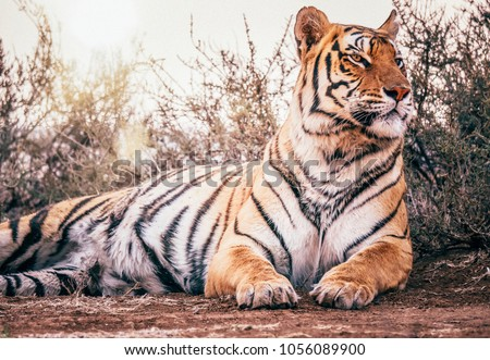 Low angle, close up view of a healthy wild bengal tiger lying in a relaxed pose in its natural environment, with its head held high, looking regal and majestic. Vintage style photo.