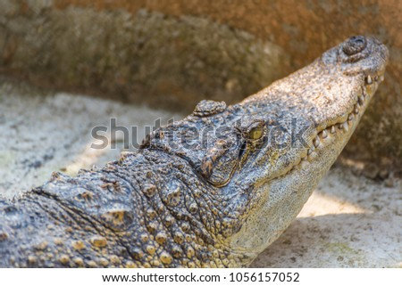 close up image of small crocodile on ground day time. #1056157052