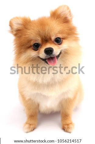 Pomeranian dog with white backdrop. #1056214517