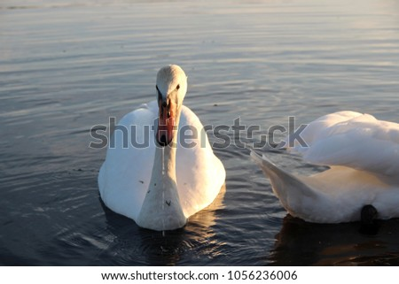 Beautiful swans on a pond at sunset. #1056236006