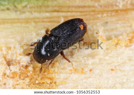 Scolytus rugulosus the shothole borer under bark of plum tree. It is a species of bark beetles (subfamily Scolytinae) a pest of many fruit trees. #1056352553