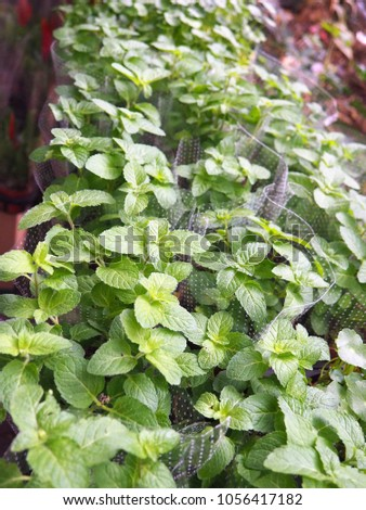 mint plant, herb #1056417182