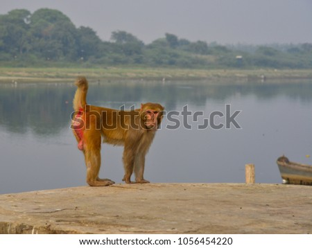 A wild monkey standing on Yamuna rivebank in Agra, India. #1056454220