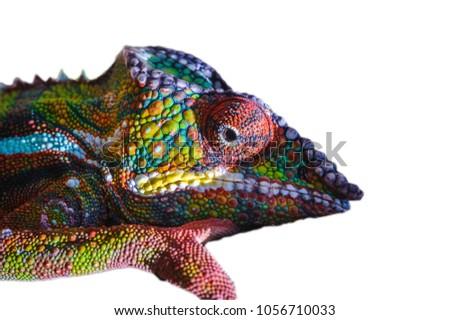 Chameleon isolated on the white background #1056710033