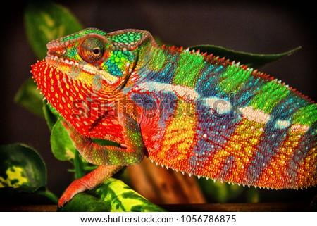 Panther Chameleon (Furcifer pardalis) Locale Ambilobe #1056786875