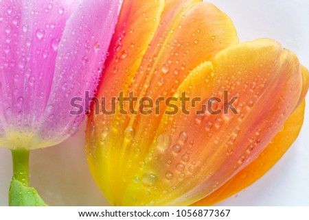 Head of tulips flowers covered by drops of water and isolated on white background. Macro photography