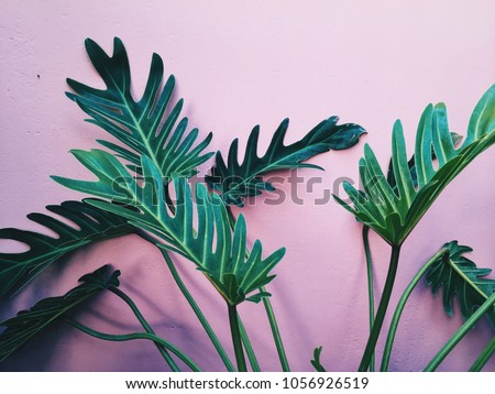 Green tropic plant at bright pink interior at background