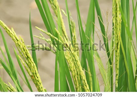 Rice field background, #1057024709