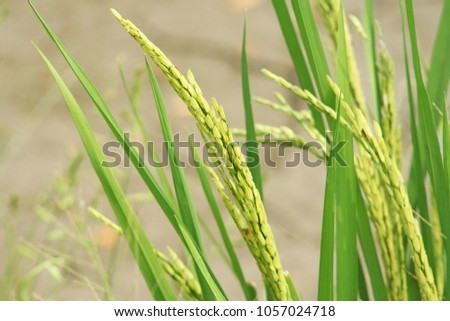 Rice field background, #1057024718