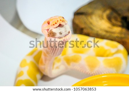 Snake eating a rat.Ball python (python regius)
