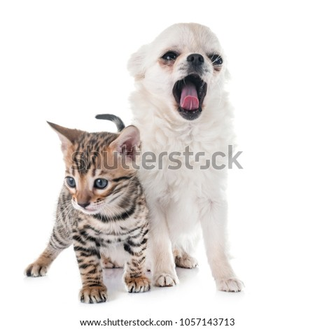 bengal kitten and puppy chihuahua in front of white background #1057143713