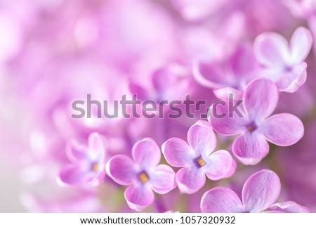 Macro image of  Lilac flowers. Abstract  floral background.  Very shallow depth of field, selective focus