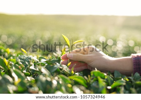 Picking tea leaves by hand in organic green tea farm in the morn #1057324946