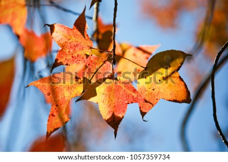 Red maple leaves, green leaves and yellow leaves. #1057359734