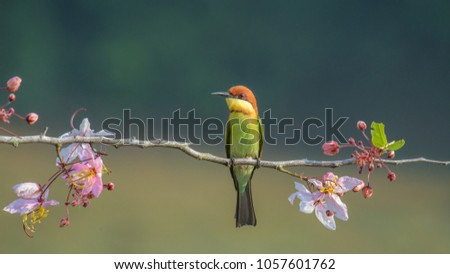 Chestnu-Headed Bee-Eater on wood branch with beautiful pink flower blossom #1057601762
