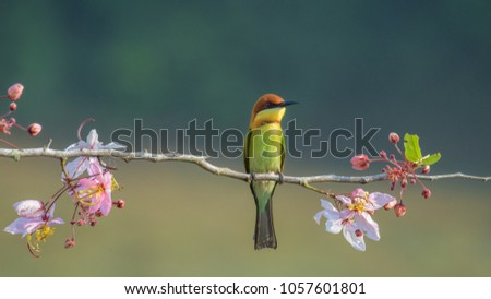 Chestnu-Headed Bee-Eater on wood branch with beautiful pink flower blossom #1057601801