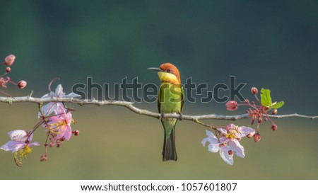 Chestnu-Headed Bee-Eater on wood branch with beautiful pink flower blossom #1057601807