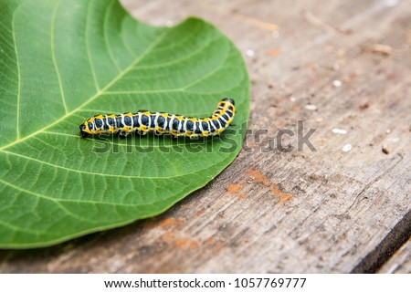 Beautiful caterpillar creeps on big green leaf. Caterpillar of the Old World Swallowtail  butterfly of the family Papilionidae. The butterfly is also known as the common yellow swallowtail  #1057769777