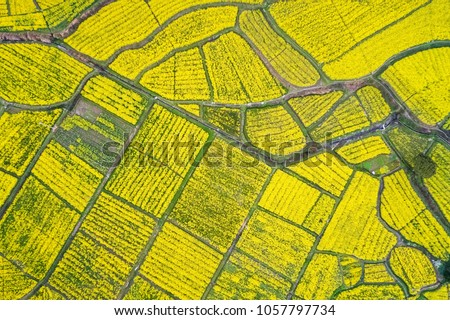aerial view of rapeseed flower blooming in farmland ,earth color in spring