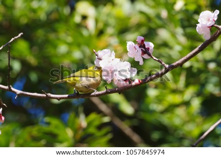 Japanese white-eye and apricot blossoms #1057845974