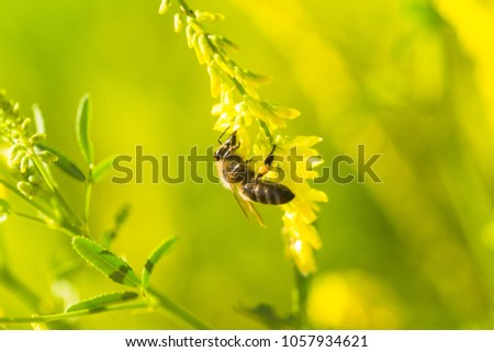 honey-laiden bee with the yellow pollen on foot collects the nectar from the flower Melilotus officinalis, yellow sweet clover, yellow melilot, ribbed melilot, common melilot #1057934621