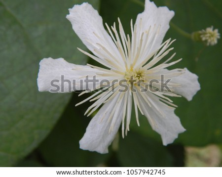 a white flower on a linden tree #1057942745