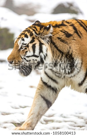 Siberian tiger (Panthera tigris ), also called Amur. #1058100413