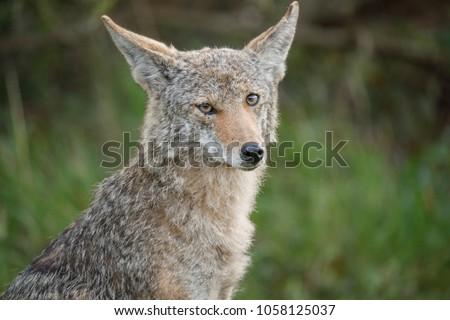Coyote - (Canis latrans)