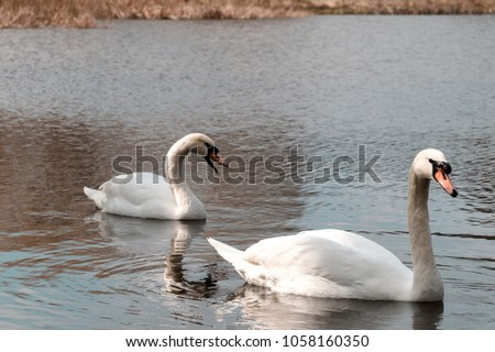 Swan pair swimming on a warm spring day #1058160350