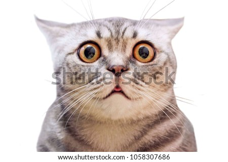 Young crazy surprised cat make big eyes closeup. American shorthair surprised cat or kitten isolated funny face. Cute tabby cat looking surprised scared. Emotional surprised wide eyed kitten portrait #1058307686
