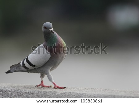 Single pigeon walking #105830861
