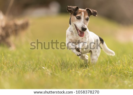 small old dog runs and flies over a green meadow in spring - Jack Russell Terrier Hound 10 years old #1058378270