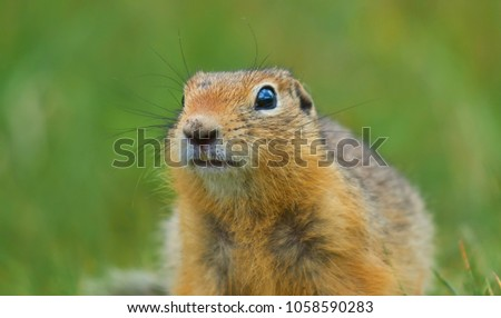 cute gopher in the summer grass