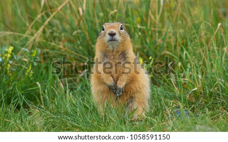 gopher sitting in the summer grass