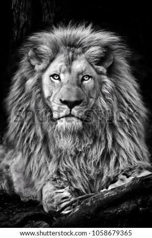 Black and white picture of a lion