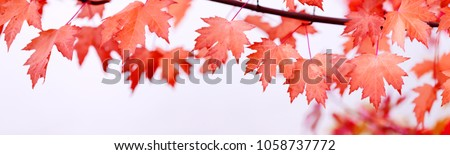 Canada Day maple leaves background. Symbol picture for Canada Day 1st July. Happy Canada Day real maple leaves in shape of Canadian Flag. Branch with maple leaves. Best picture of maple leaves. #1058737772