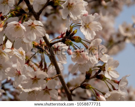 Korea Cherry blossoms blooming in spring #1058877731