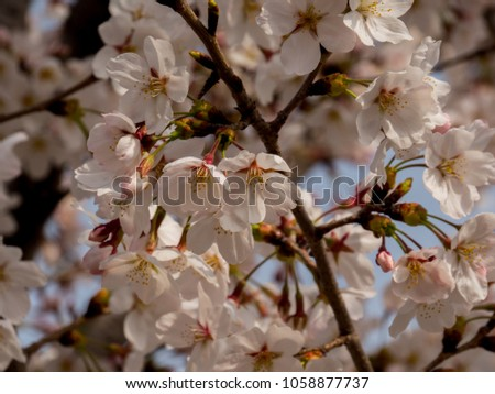 Korea Cherry blossoms blooming in spring #1058877737