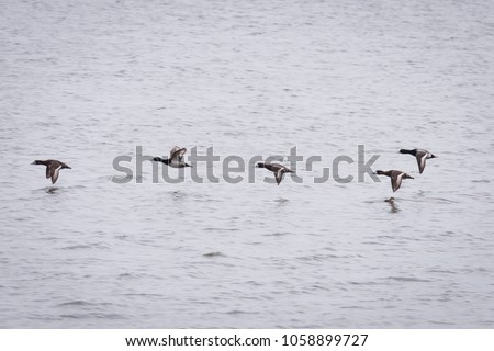 Greater Scaups in formation #1058899727