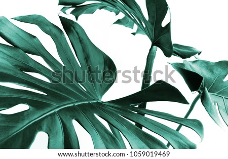 Real monstera leaves decorating for composition design.Tropical,botanical nature concepts ideas. Royalty-Free Stock Photo #1059019469
