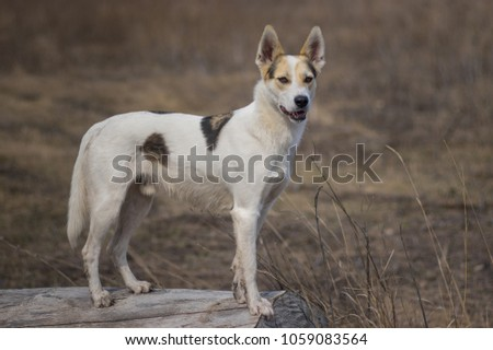 Portrait of cross-breed of hunting and northern white dog standing on a log watching for enemies  #1059083564