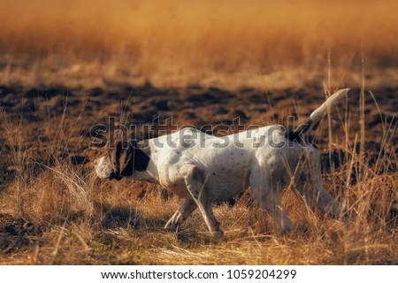german pointer hunting Royalty-Free Stock Photo #1059204299