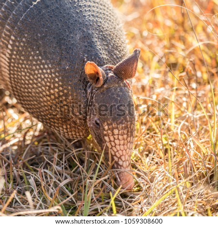 armadillo looking for food at sunset