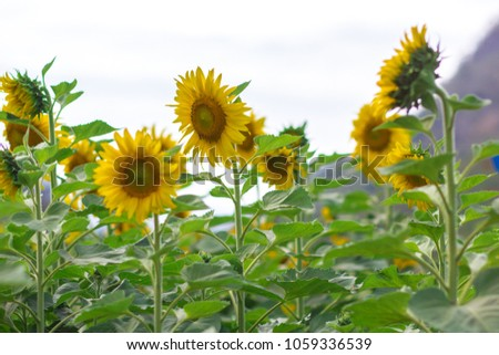 Closeup round bright beautiful yellow fresh sunflower showing pollen pattern and soft petal with blurred field and sky background #1059336539