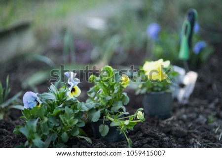 Flowers viola on the flowerbed, planting seedlings #1059415007